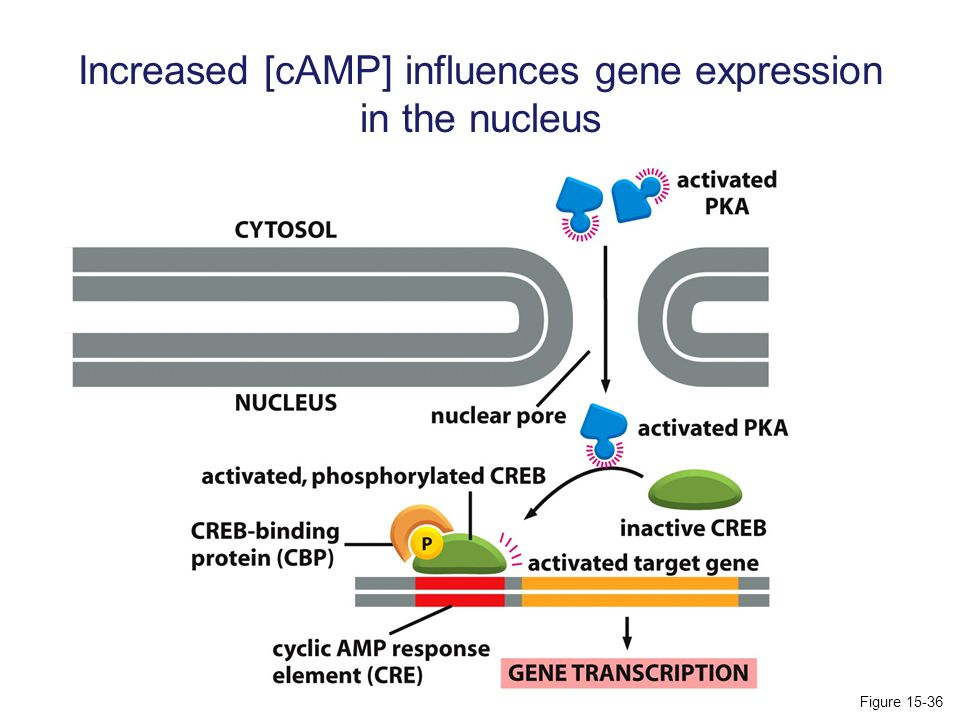 Increased [cAMP] influences gene expression in the nucleus